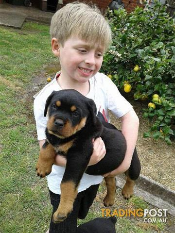 8 Natural Born Bobtail Rottweiler Puppies For Sale