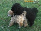 TEACUP size Toy Poodle FEMALE