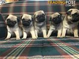 Wanted: For Sale : Pure Bred Pug Puppies