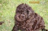 Rare Chocolate Boy Toy Poodle Puppy for sale