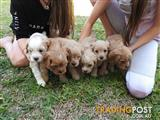 Cream & Red Cavoodle Puppies