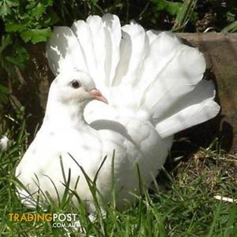 Beautiful Pure white Young Fantail  Doves/Pidgeons