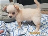 Male chihuahua pup