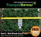 Trays of Dwarf / Mini Mondo Grass $75: 250+ Plants Free Post