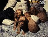 Cavoodle puppy 1st Gen Ruby Red & Black Toy Exquisite puppies.
