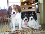 Cavalier King Charles Cross Papillon Puppies