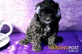 Cavoodle puppies From $2000