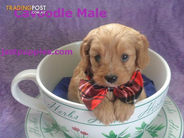 Cavoodle pups First generation