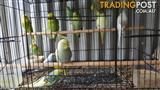Rainbow and crest brid baby budgies for sale