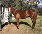 Flashy Quiet No Fuss Quarter Horse Gelding
