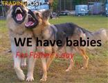German shephard pure bred puppies