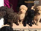 Poodle Puppies for sale (standard)