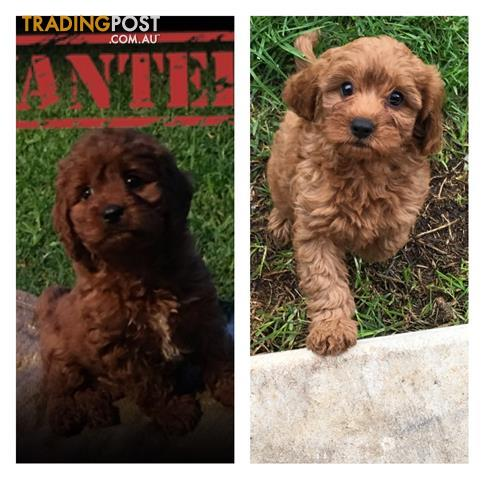 Stunningtoy Cavoodle puppies