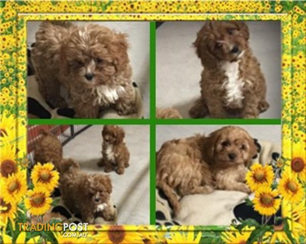 Beautiful Cavoodle puppies