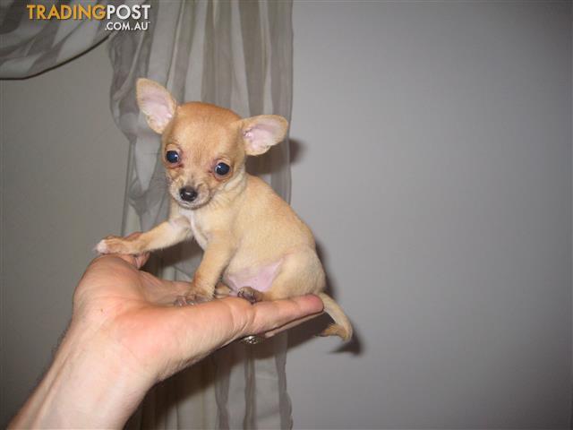 Purebred-Tiny-Teacup-Chihuahua-Puppies