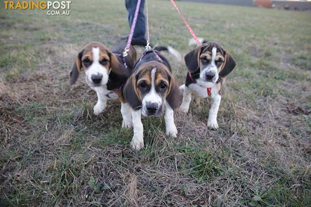 TRICOLOUR BEAGLE PUPPIES FOR SALE (Born 7/2/16)