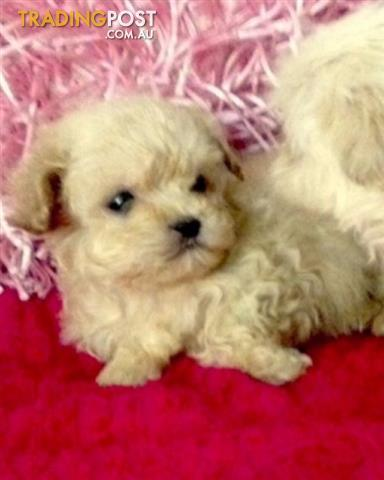 Adorable Toy Poodle  x MalteseShitzu Puppies