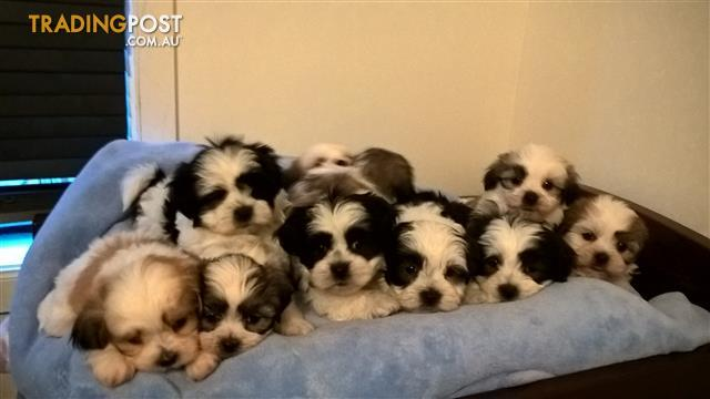 """Beautiful Maltese Shih tzu Puppies""."