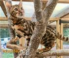 Adorable Pedigree Bengal Female Ready Now