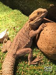 bearded dragons | Find pets and horses for sale in Australia