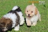 Adorable Tiny Toy Poodles X