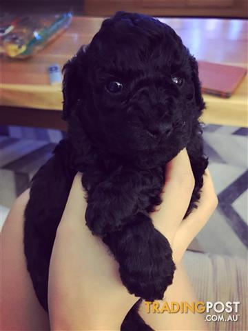 PRICE REDUCED - Toy Poodle pups for sale in WA