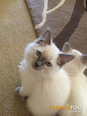 Beautiful Blue eyed Ragdoll kittens, ready to go now, I have been breeding for 8 years now.
