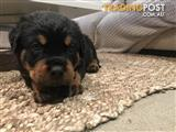 Pure bred German Rottweiler Pups
