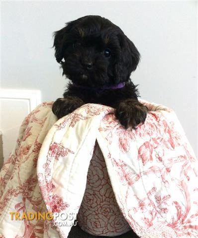 Stunning 1st generation TOY CAVOODLE pups! cavalier x toy poodle