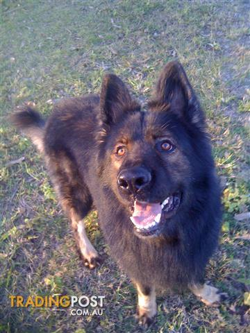 TOP K-9  GERMAN SHEPHERD DOG MALE FOR STUD.(NOT FOR SELL)