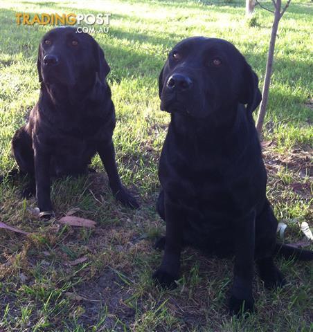 Labrador puppies pure bred