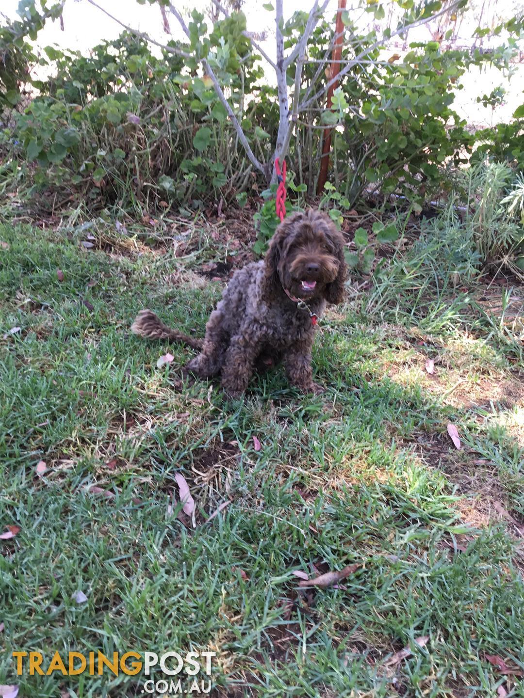 Spoodle stud dog labradoodles spoodles cavoodles not for sale send message solutioingenieria Choice Image