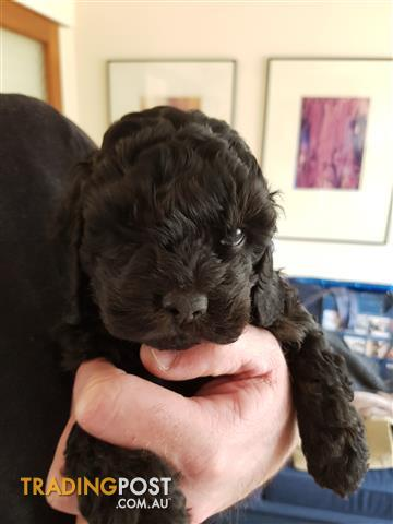 Cavoodles Puppies