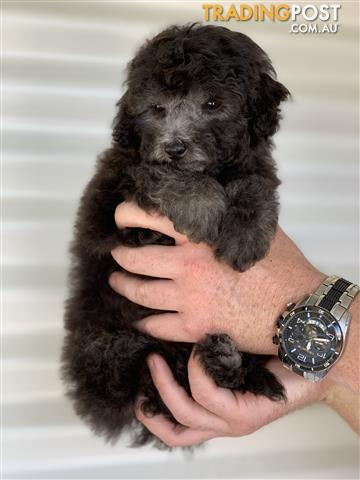 Toy poodle adelaide