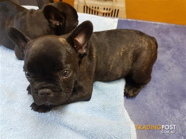 NOW READY MALE FRENCH BULLDOG