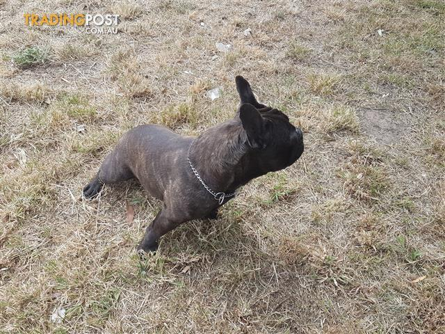 French Bulldog Stud (Carries Blue, Fawn Sable and Chocolate)