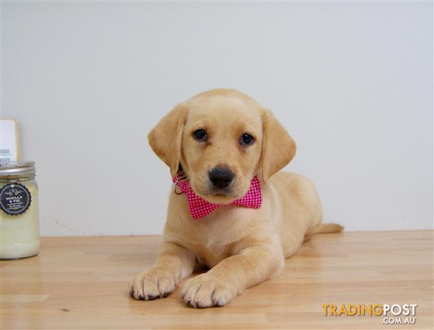 Labrador Puppies For Sale Sydney