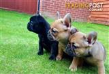 Nunu French Bulldog puppies now ready