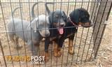Dobermann puppies