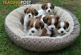 King Charles Cavalier x Jack Russell Puppies