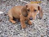 Shaded Red Male Mini Dachshund - Pure Breed 12 weeks old