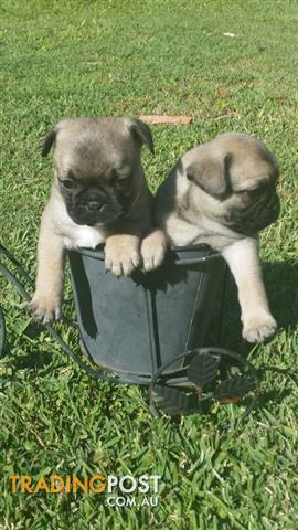 Frug puppies for sale!