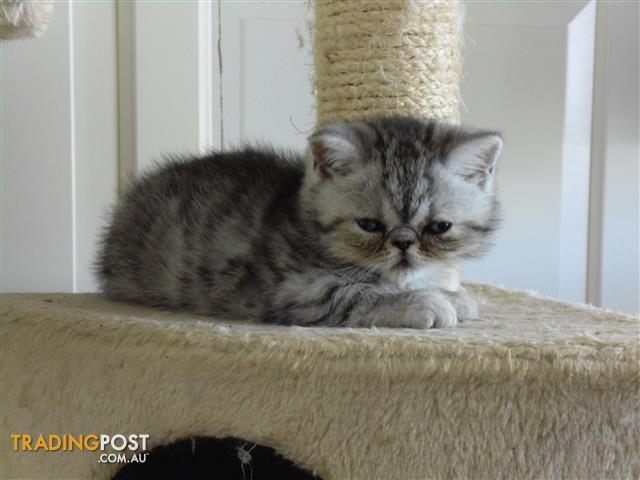 Exotic Shorthair Persians and Longhair Persian Kittens for sale