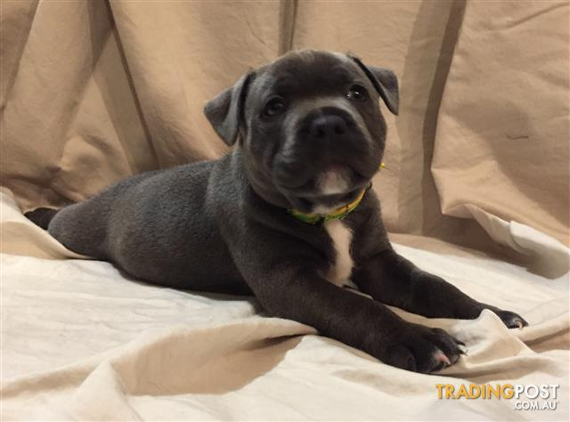 Blue Staffy For Sale : Purebred blue english staffies for sale in jimboomba qld