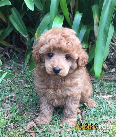 Purebred Toy Poodle Puppies