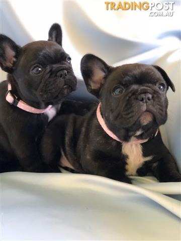FRENCH BULLDOG PUREBRED PUPPIES WITH PEDIGREE PAPERS