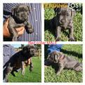 Staffordshire Terrier Pups Blue Purebred