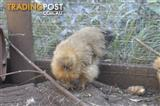 Silkie chickens for sale