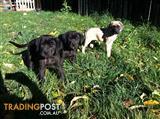 English Mastiff X English Mastiff 1/8 Great Dane PUPS
