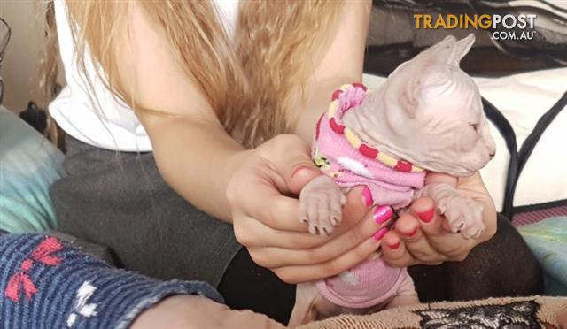 Beautiful Male Sphynx Looking For A Loving Home